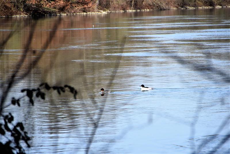 Ducks 12.03 (2)