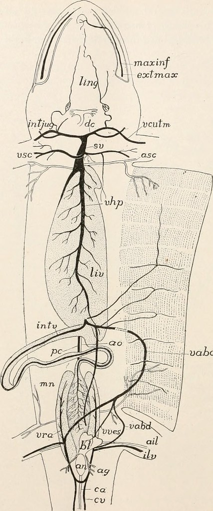 Image From Page 313 Of Comparative Anatomy Of Vertebrates Flickr
