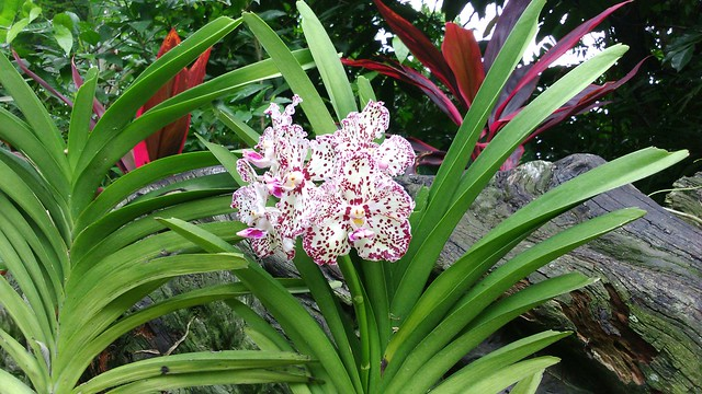 Vanda William Catherine, VIP Orchid Garden, National Orchid Garden Singapore