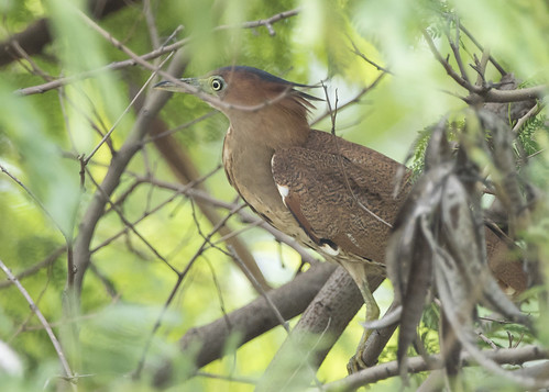 Malayan Night Heron | by See Toh Yew Wai