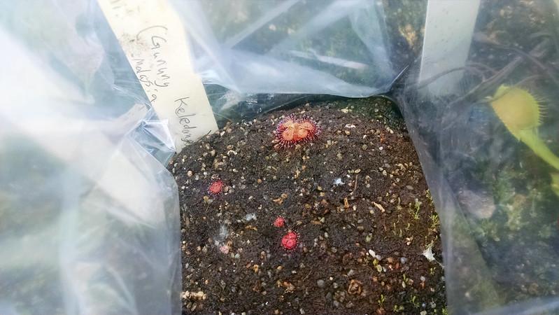 Drosera burmannii (Gunung Keledang) seedlings.