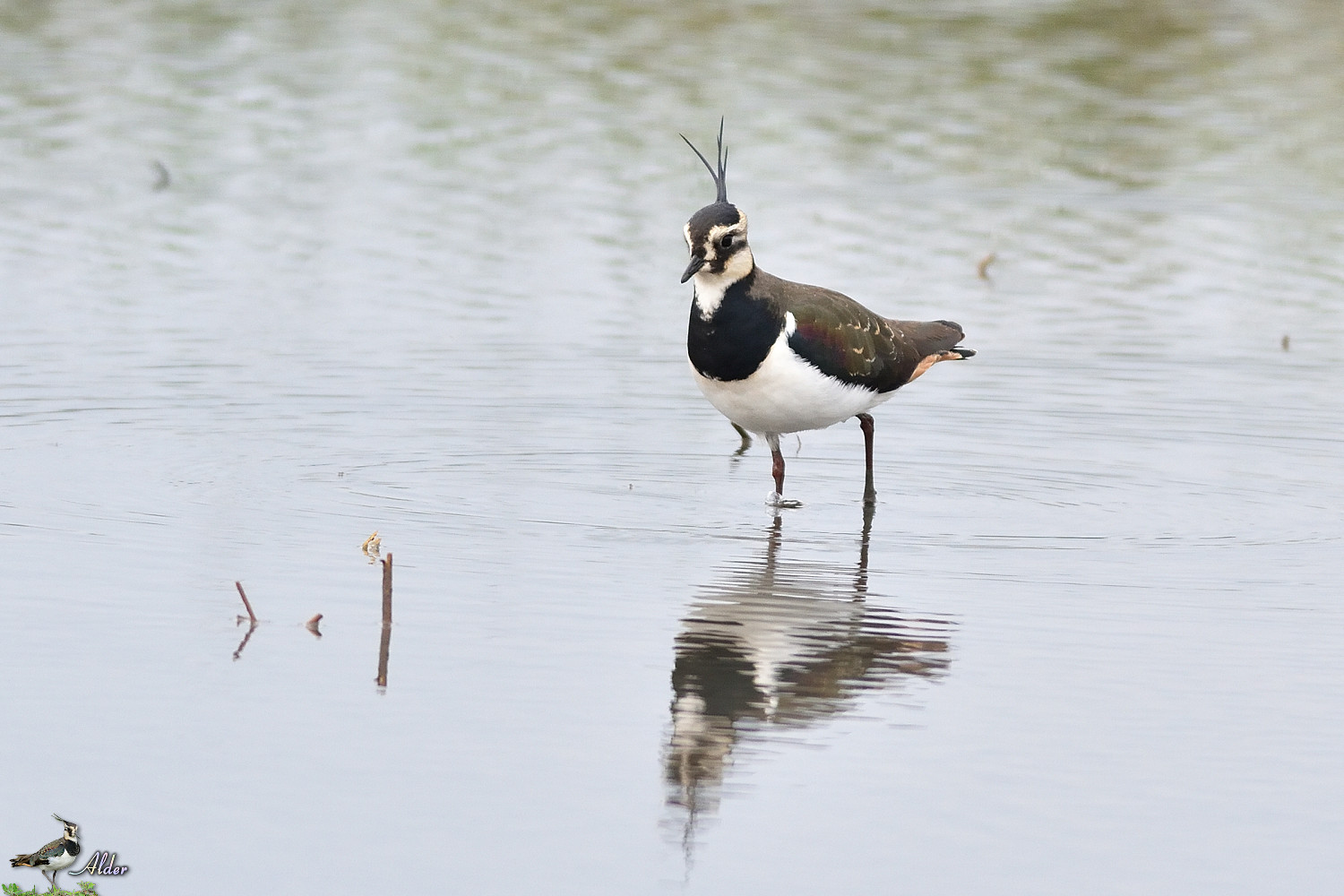 Northern_Lapwing_4819