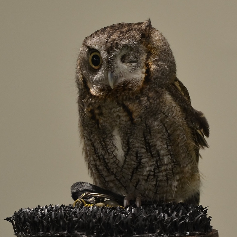 OWL - Eastern Screech-Owl Gray