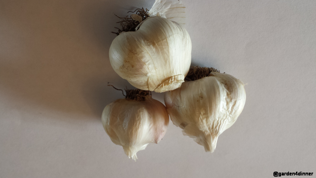 home harvested organic garlic
