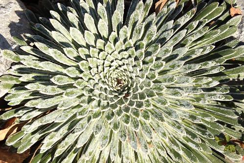 Saxifraga longifolia  32589505125_0144e9fe79