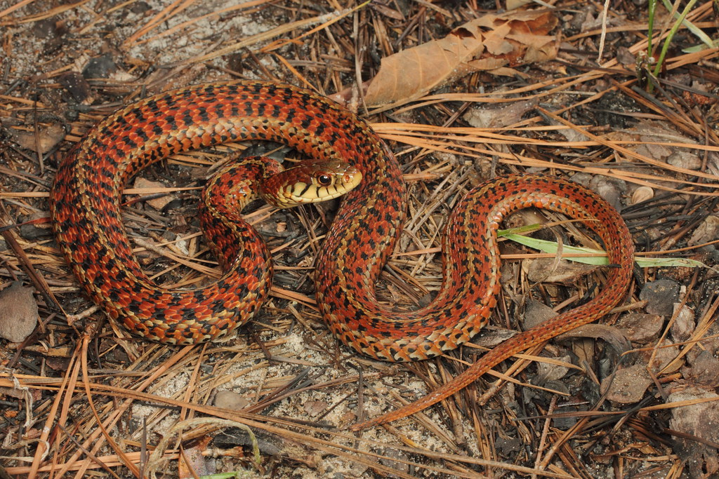 Snakes Of Hunting Country likewise Northern copperhead together with Cottonmouth Snake together with Identify a snake also Snake Bites Thats Normal. on types of snakes in north carolina