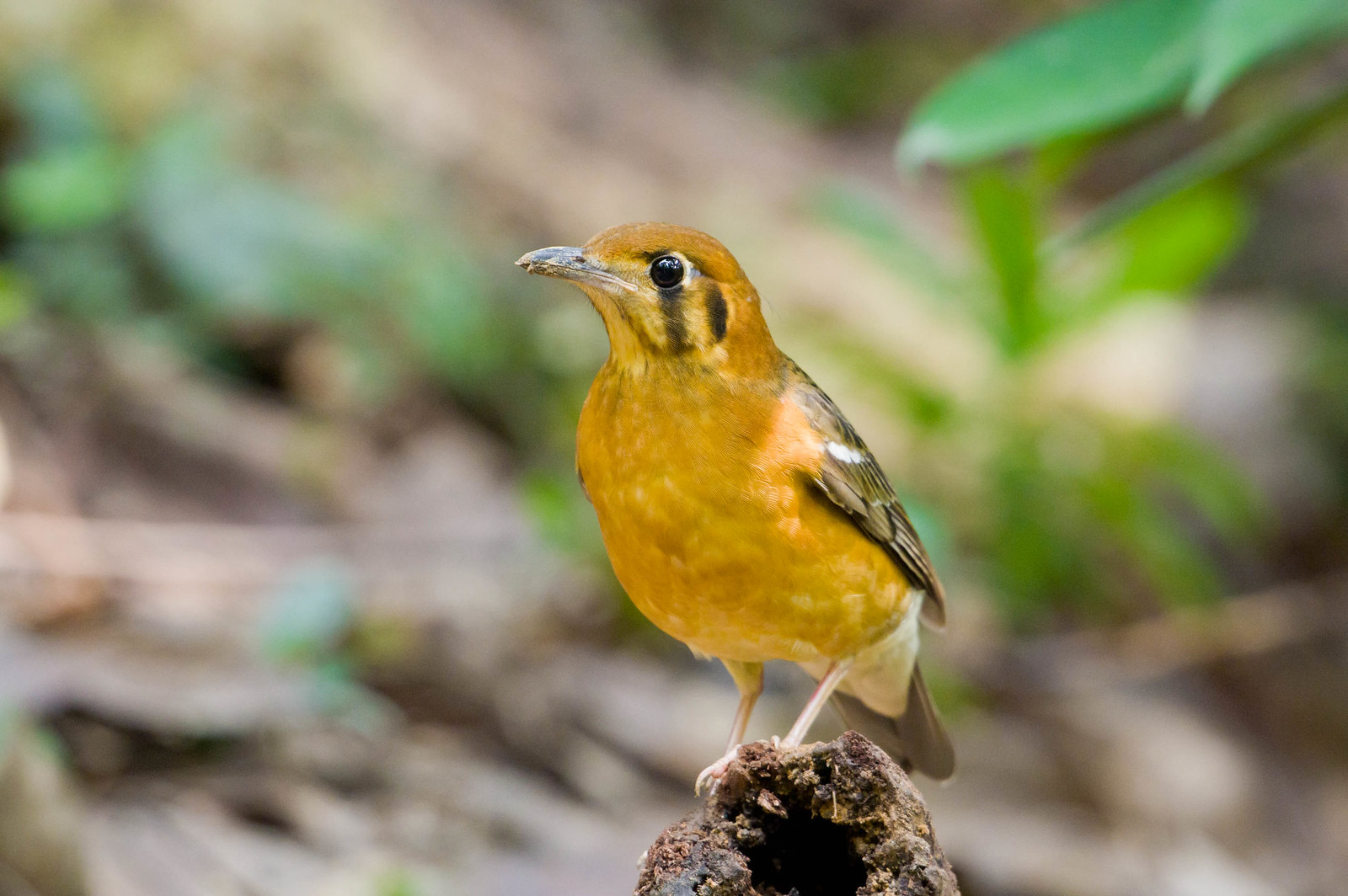 香港候鳥之橙頭地鶇