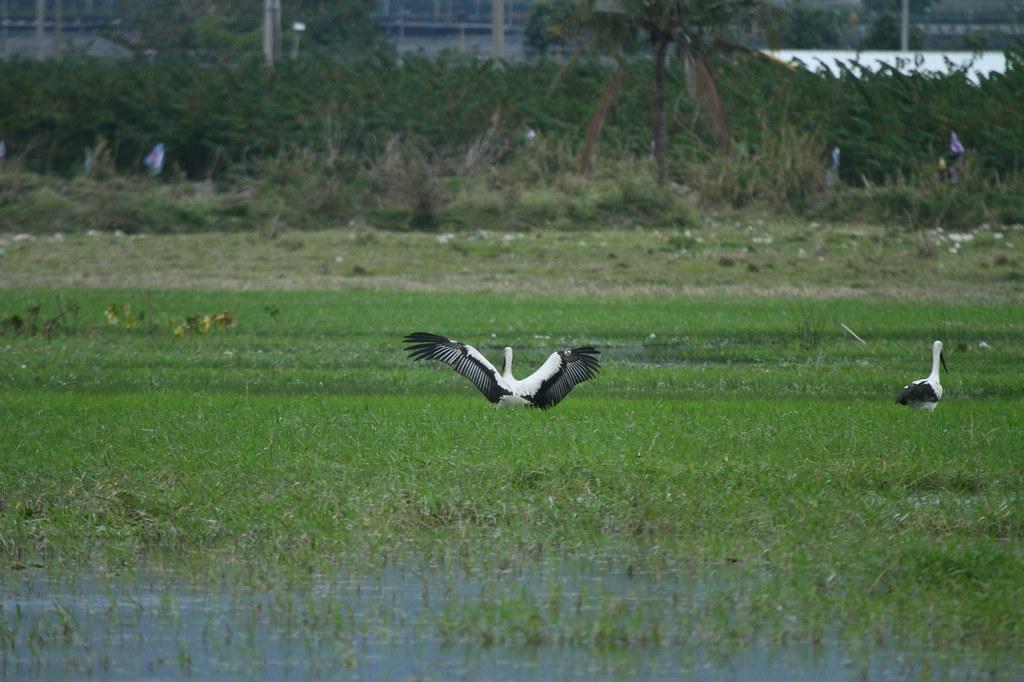 東方白鸛展翅。荒野保護協會台東分會提供