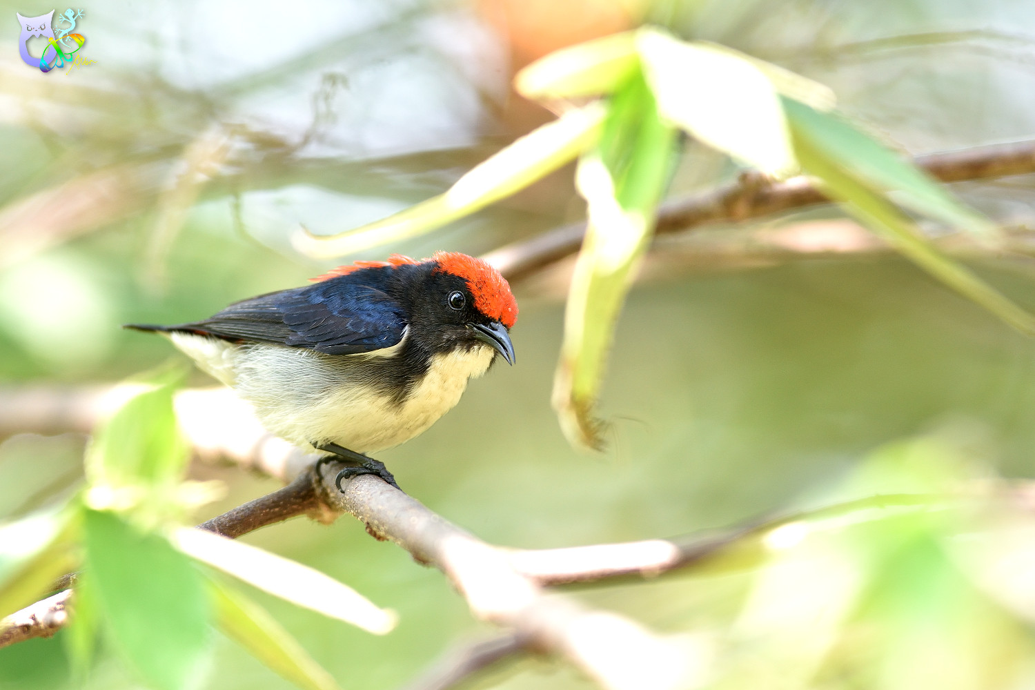 Scarlet-backed_Flowerpecker_2463