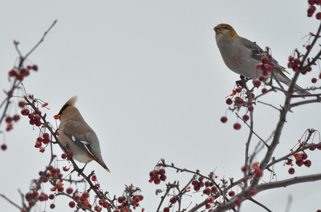 Waxwing Grosbeak