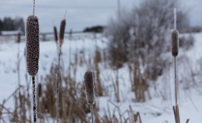 huurteiset kasvit talvella