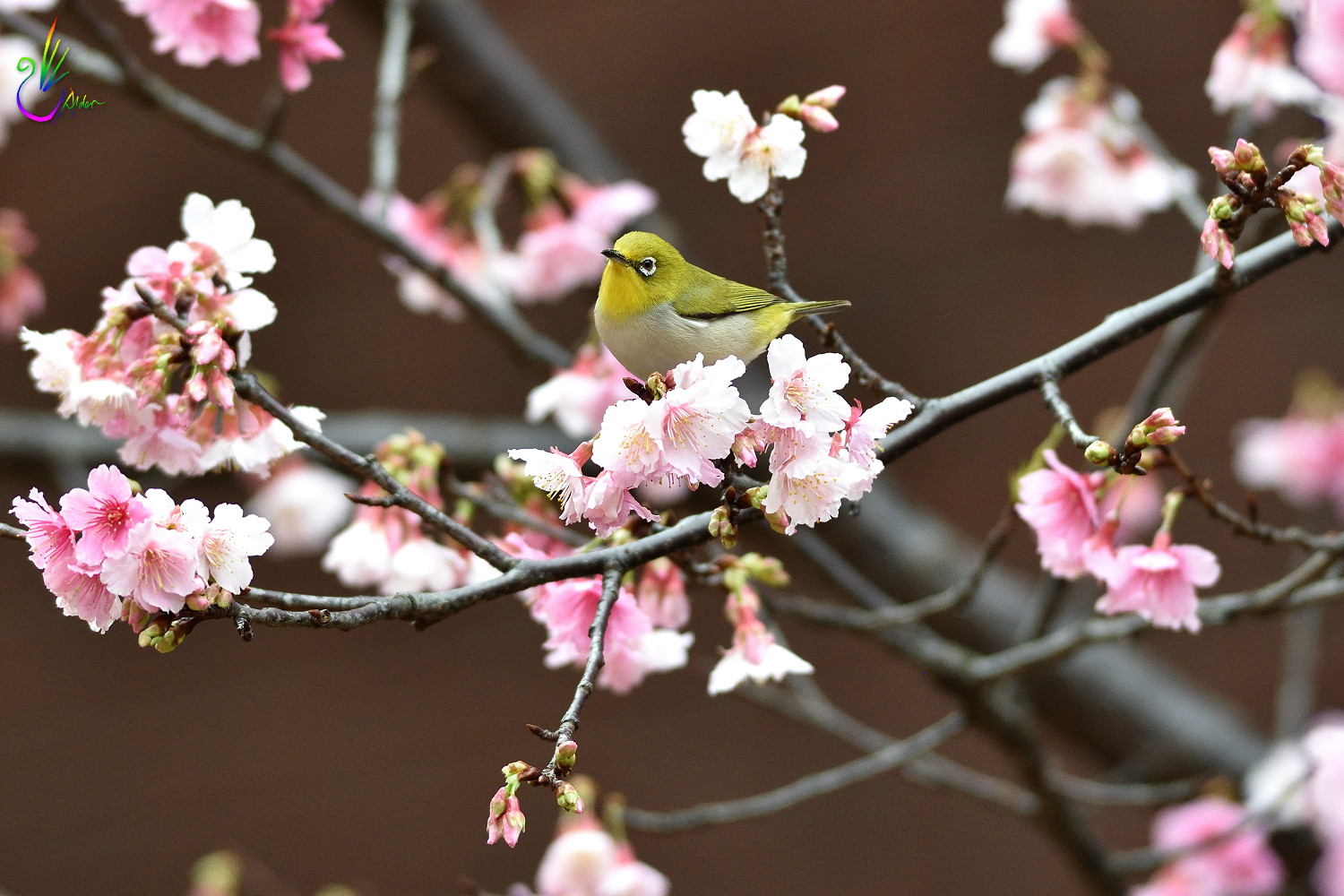Sakura_White-eye_0689