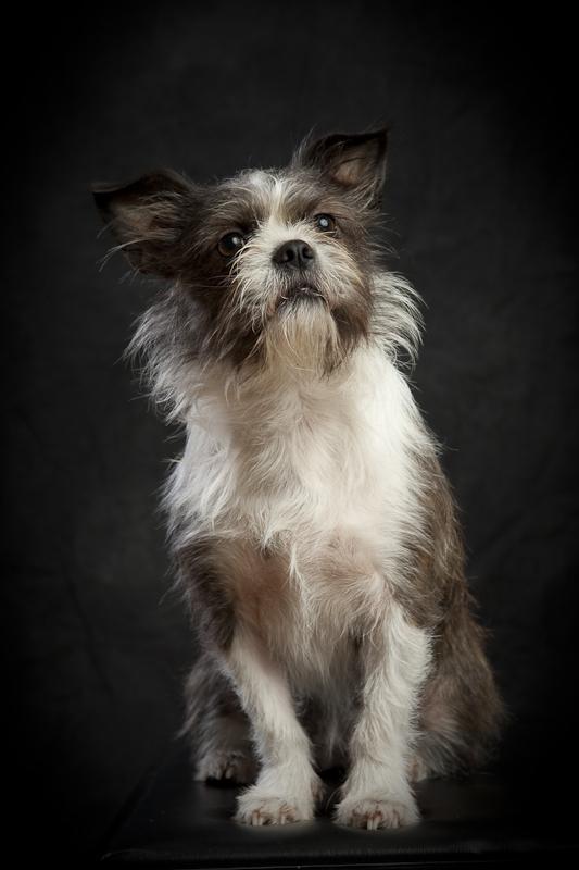Napa Ca Shih Tzuboston Terrier Mix Nextdoor Flickr