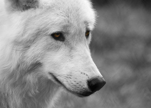 Arctic Wolf | by FurLined