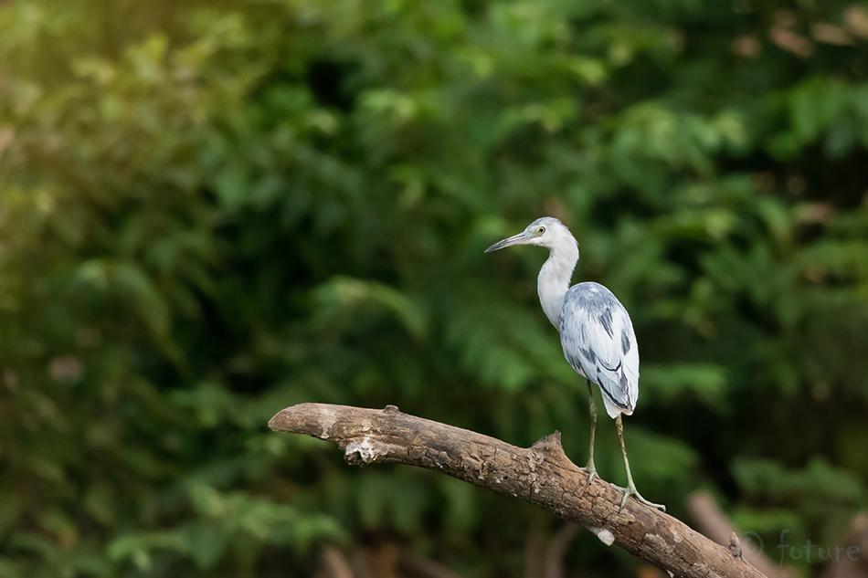 Sinihaigur, Egretta, caerulea, Florida, Little, Blue, Heron, Nicoya, peninsula, Costa Rica, Kaido Rummel
