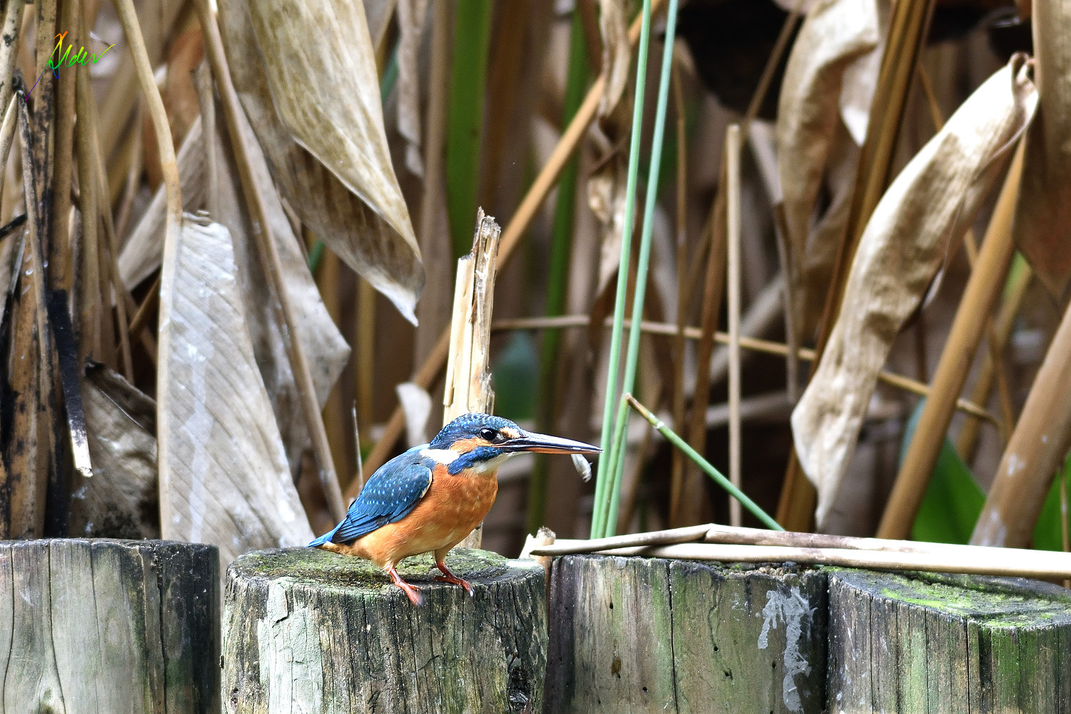Common_Kingfisher_1523