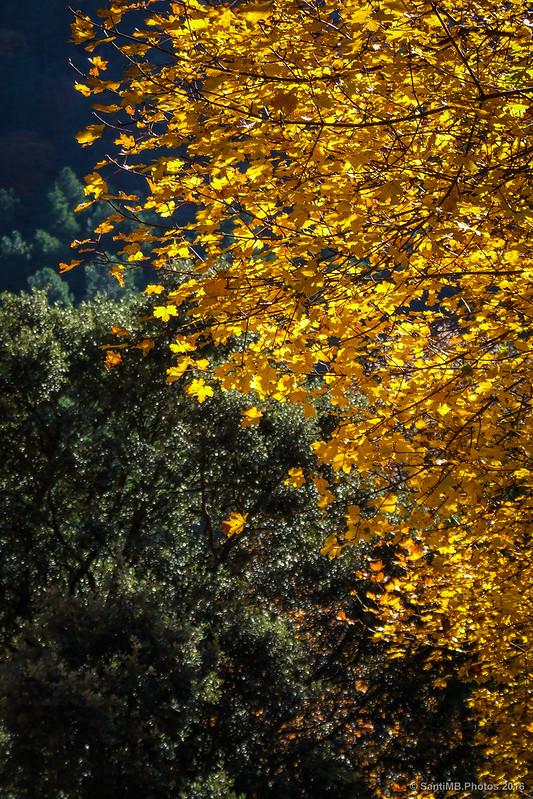 Arce silvestre en otoño