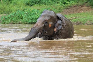 Elephant enjoying the water
