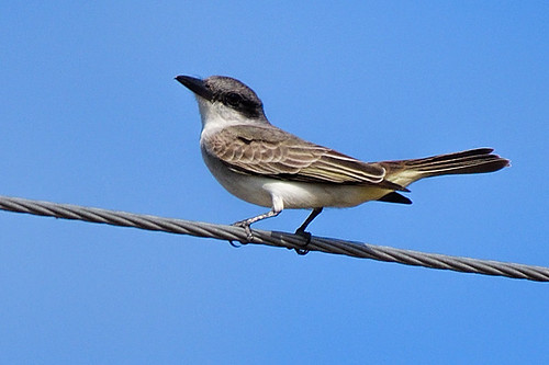 FL: Gray Kingbird 2
