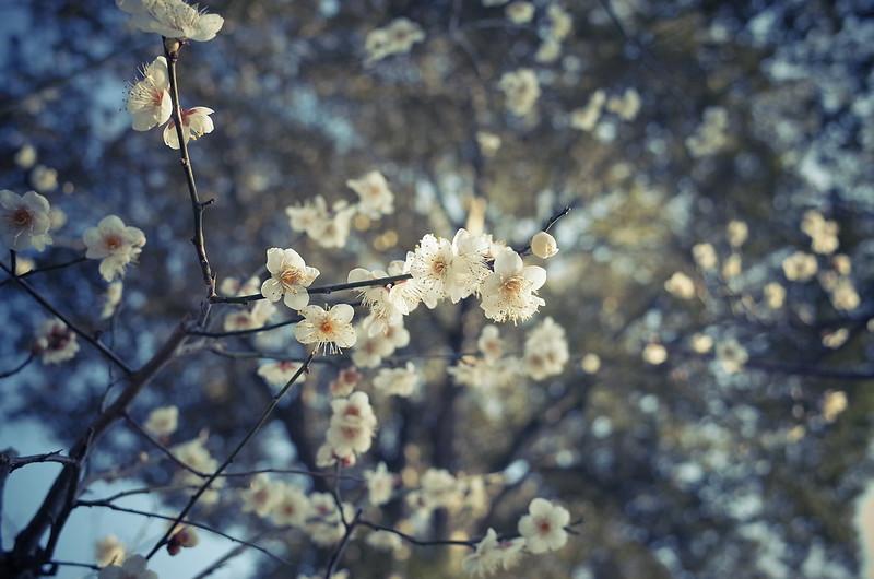 白梅を見上げる