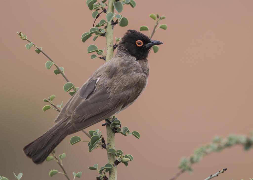 African Red-eyed Bulbul  Pycnonotus Nigerians