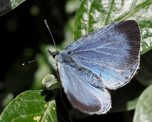 holly blue 2-6-15 | by Brian Wadie Photographer