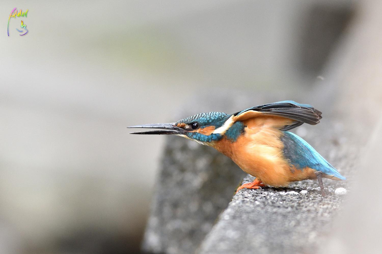 Common_Kingfisher_0916