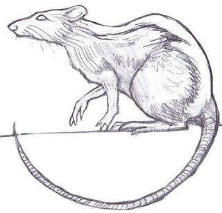 PJ Lynch rat sketch