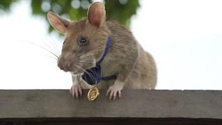 Dickin Medal winning Cambodian Landmine-detecting Rat