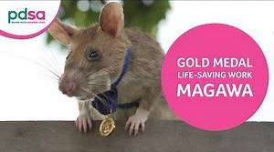 Gold Medal for rat