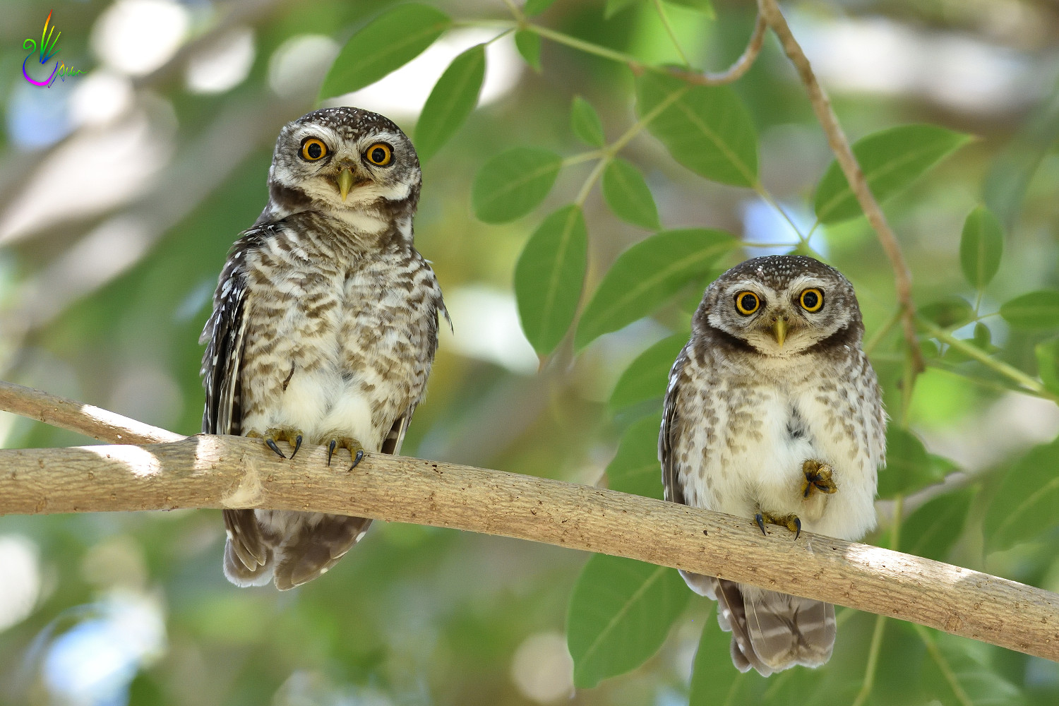 Spotted_Owlet_9361