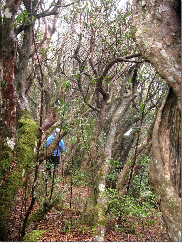 魯、南杜鵑林 2