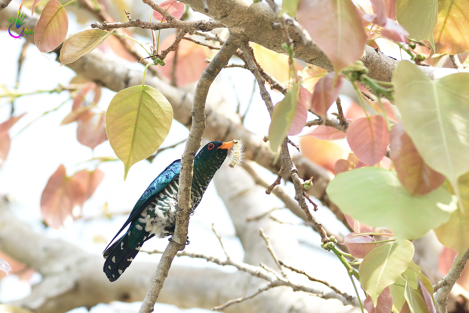 Asian_Emerald_Cuckoo_6612