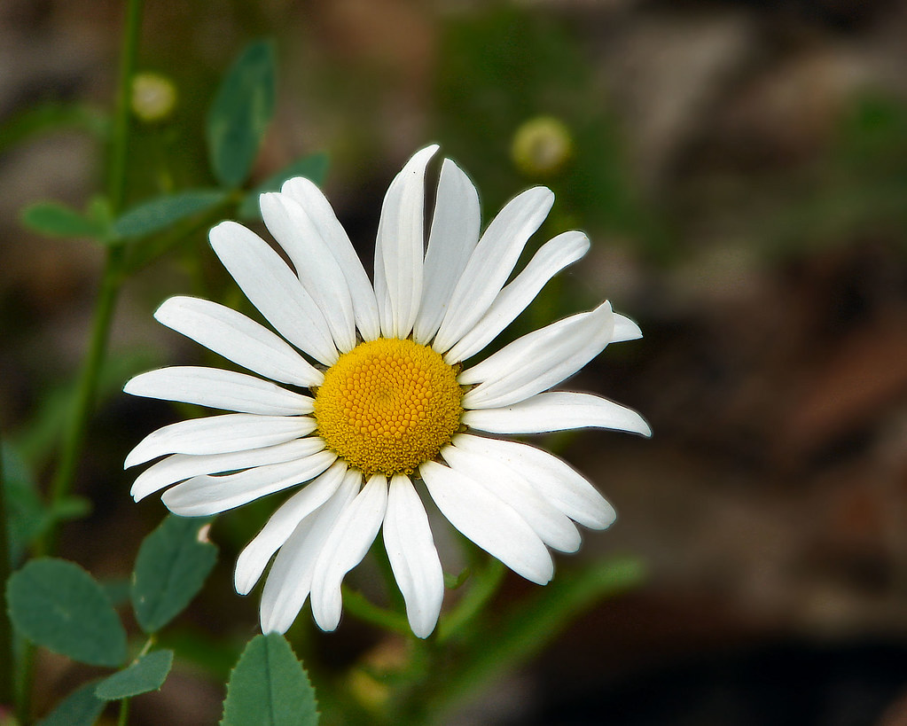 Wild daisy near lake monroe in monroe county indiana cindy wild daisy by cindy47452 wild daisy by cindy47452 izmirmasajfo