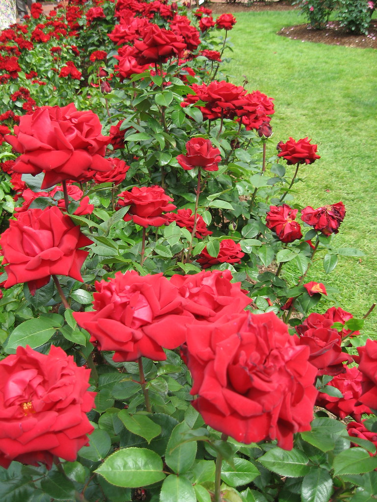 39 ingrid bergman 39 rose fuzzyjay flickr. Black Bedroom Furniture Sets. Home Design Ideas