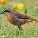 Cape Robin (Cossypha caffra)