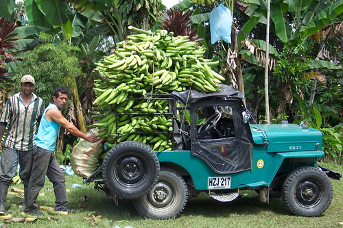 Harvesting Plantains | by Taco Jones