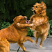 The Sweet-Natured Golden Retriever (PLAYING)...