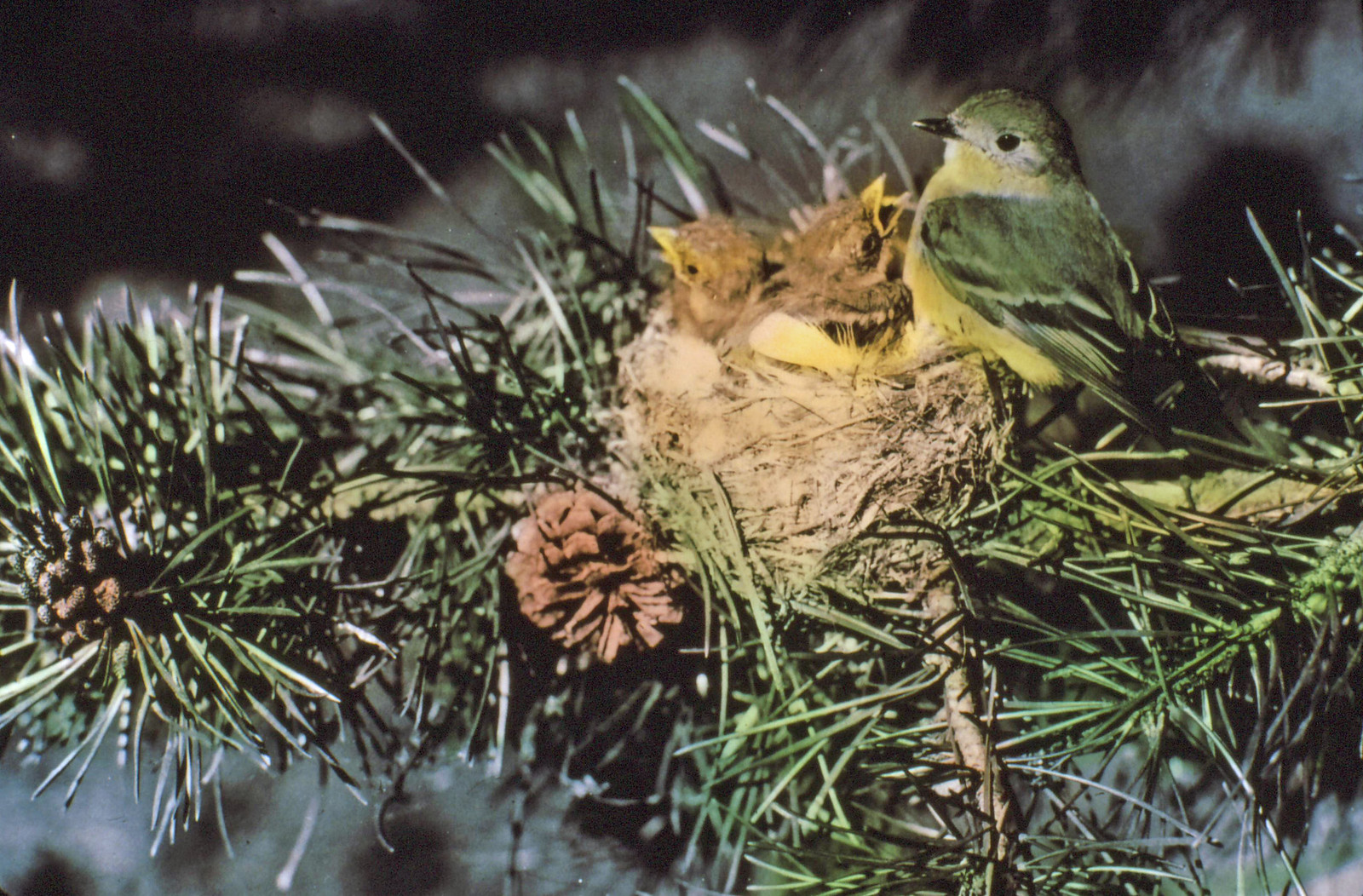 375576 Traill's Flycatcher Female & Young, Malheur NF 1938 | by Forest Service - Pacific Northwest