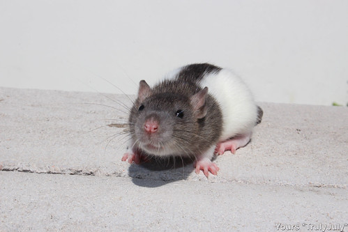 Ready for some rattie kissies? ♥