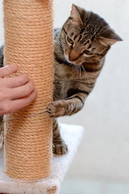Tigris, gatita atigrada parda de ojazos verdes y cara redondita, tímida y sumisa esterilizada, nacida en Septiembre´15, en adopción. Valencia. ADOPTADA. 32577067352_020731f020_z