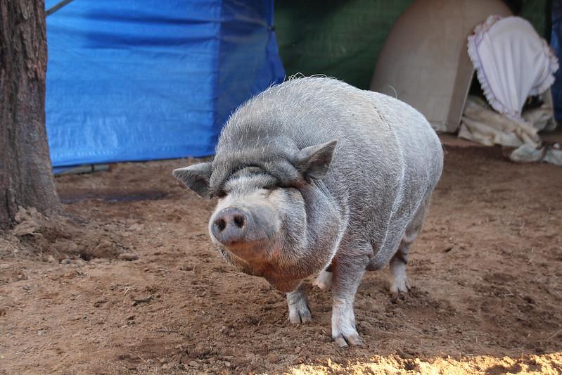 Grazin Pig Resue