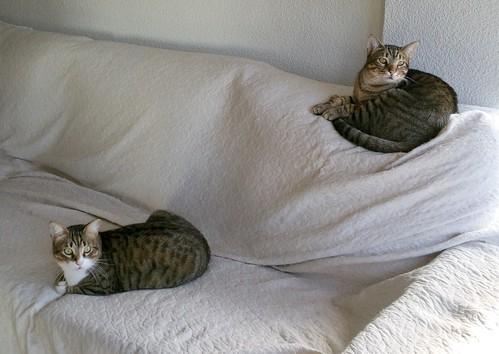 Cotton y Cobby, gatos pardo y blanquipardo inseparables, nacidos en Febrero´15, necesitan adopción Conjunta. Valencia. 32978987661_54a72587f6