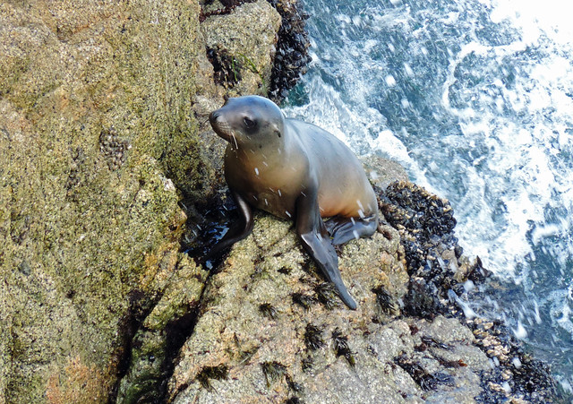 Baby Animals: Baby sea lion at Point Reyes, California