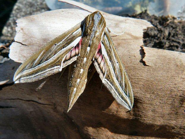 Vine Moth Hippotion celerio