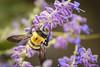 Bumblebee on Russian Sage