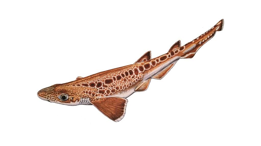 Illustrasjon Blackmouth catshark (Sharks of the World)