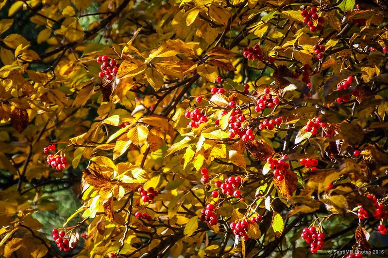 Mostajo en otoño