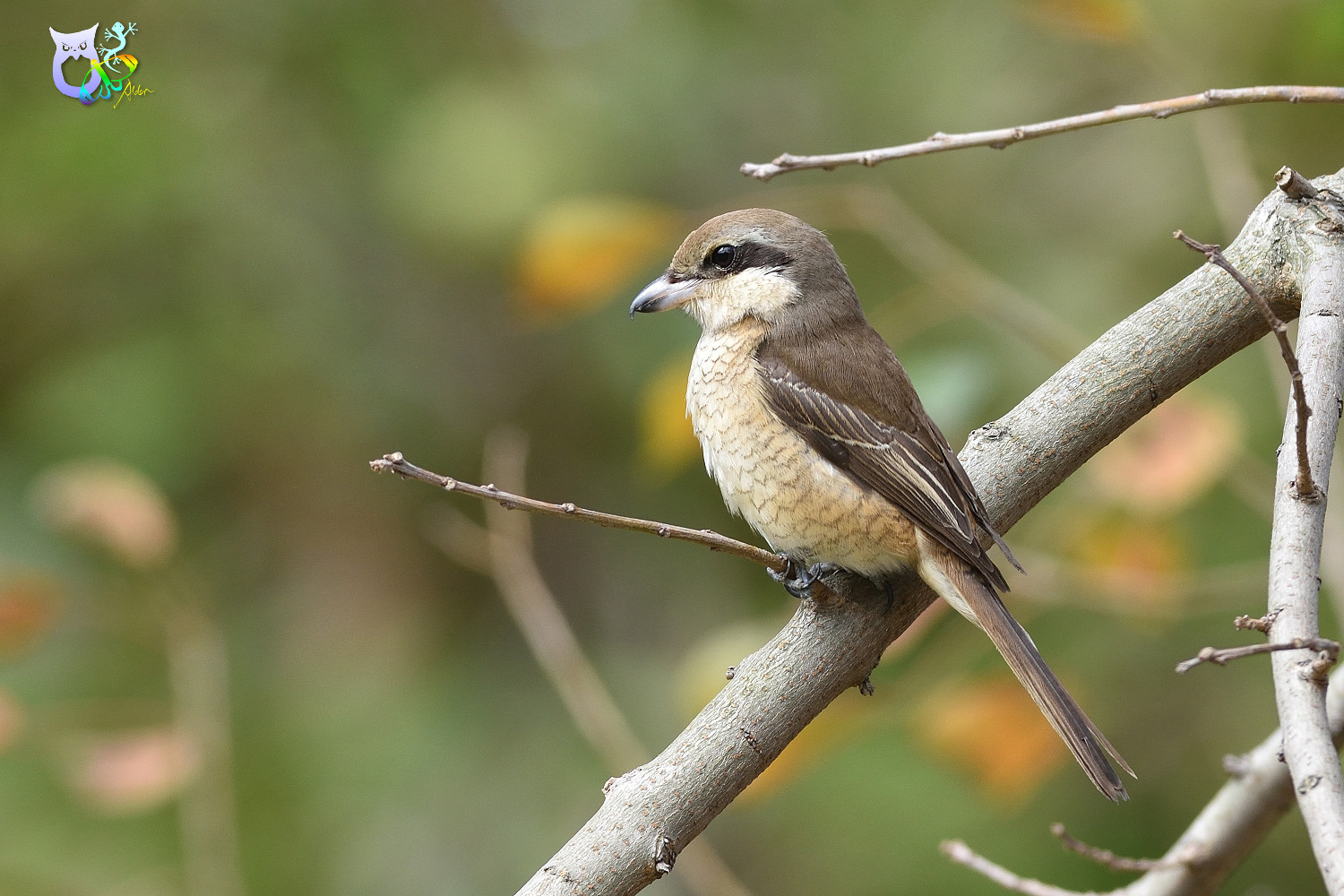 Brown_Shrike_9642