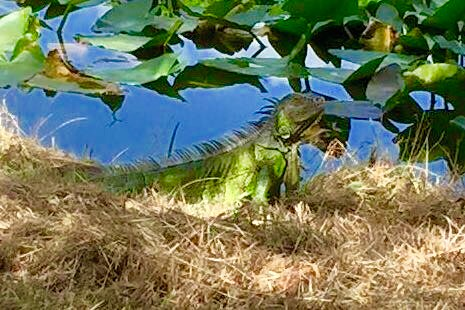 Flamingo gardens ft lauderdale iguana sue slick flickr - Flamingo gardens fort lauderdale ...